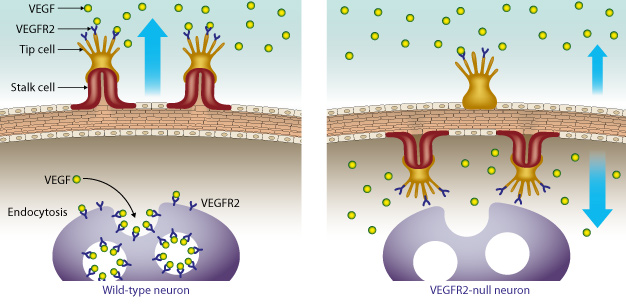 A growth receptor called vascular endothelial growth factor receptor 2 (VEGFR2) prevents over-vascularization of retinal neurons by binding excess VEGF. In mouse models that do not express the VEGFR2 receptor in their retinal neurons, the vessels grow inward toward the neurons instead of outward.